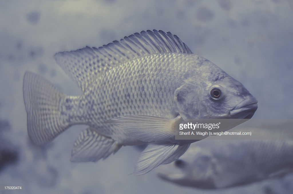 talkRADIO – Can tilapia skin help burn victims?